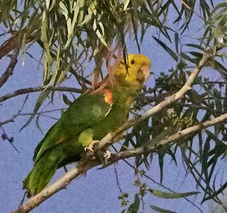 Yellow-headed Parrot (Amazona oratrix)