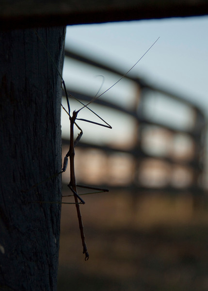 Stick Bug on fence post!