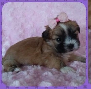 2015 Malshi Puppies For Sale