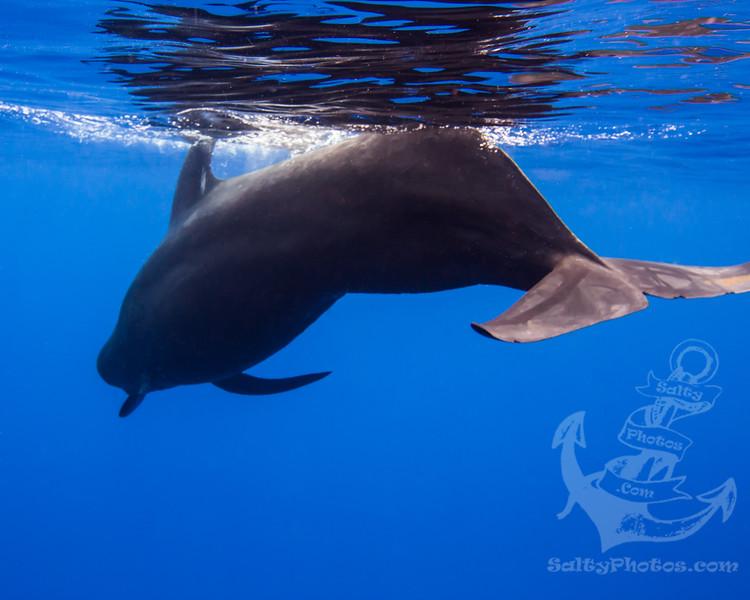 Short-finned Pilot Whale (Globicephala Macrorhynchus)