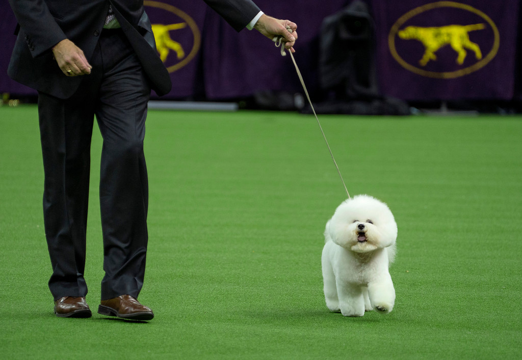 . Handler Bill McFadden walks with Flynn, before the bichon frise was named Best in Show at the 142nd Westminster Kennel Club Dog Show, Tuesday, Feb. 13, 2018, at Madison Square Garden in New York. (AP Photo/Craig Ruttle)
