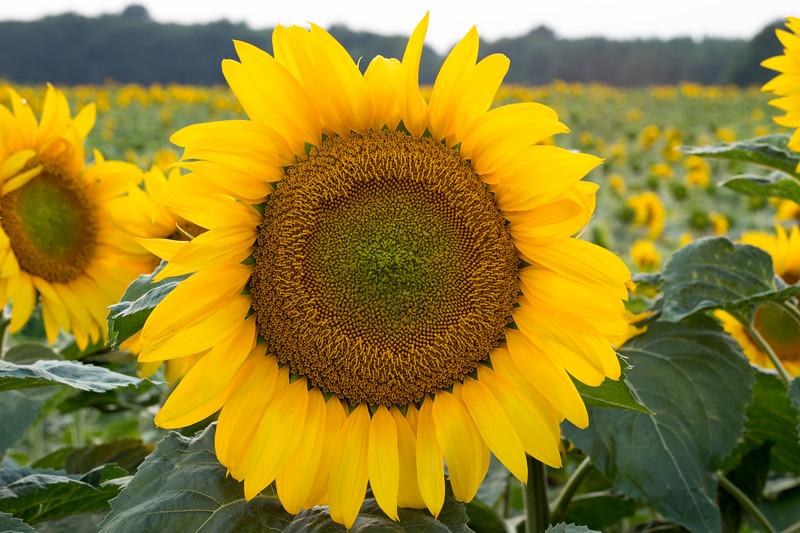 Sunflowers Loire Valley- France - Jan 2012- 008.jpg