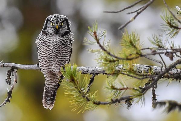 11-12-15 Hawk Owl