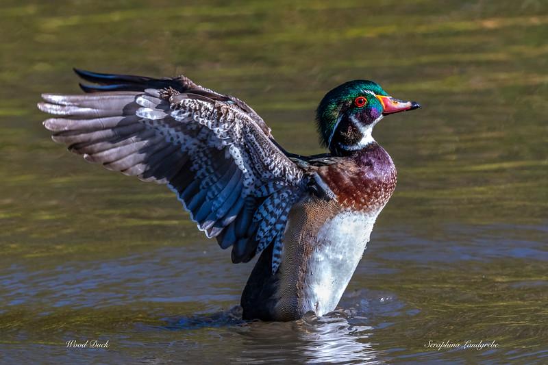 _DSC7251ood duck Winging.jpg
