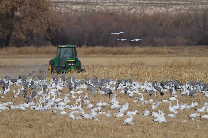 Sandhill Cranes Snow Geese tractor Bosque del Apache NWR Socorro NM IMG_0007553.jpg