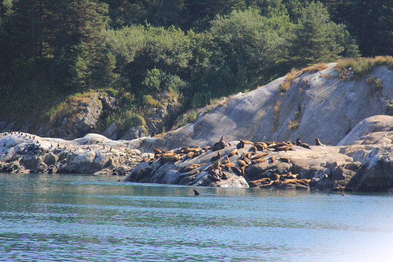 20160718-216 - WEX-Glacier Bay NP-South Marble Island-Sea Lions.JPG