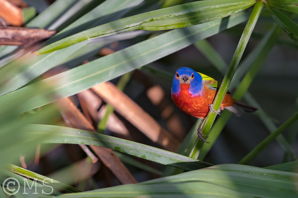 Painted Bunting Image Gallery