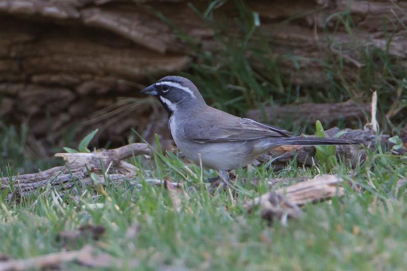 Black-throated Sparrow - Record - Patagonia Lake State Park, Patagonia, AZ, USA