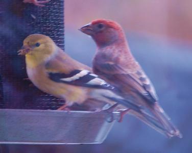 Finchs
