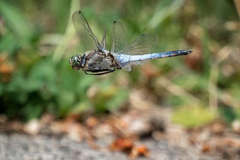 Black-tailed Skimmer - Grosser Blaupfeil