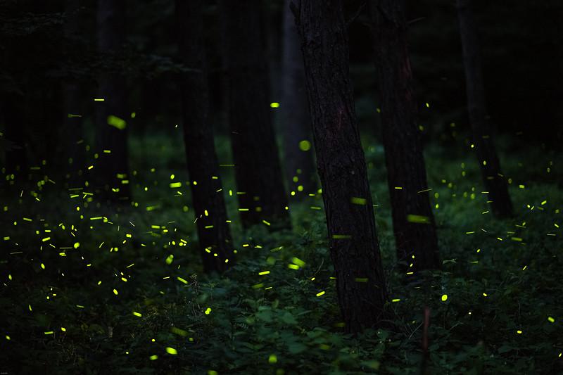 Cerova svetluska 07.jpg