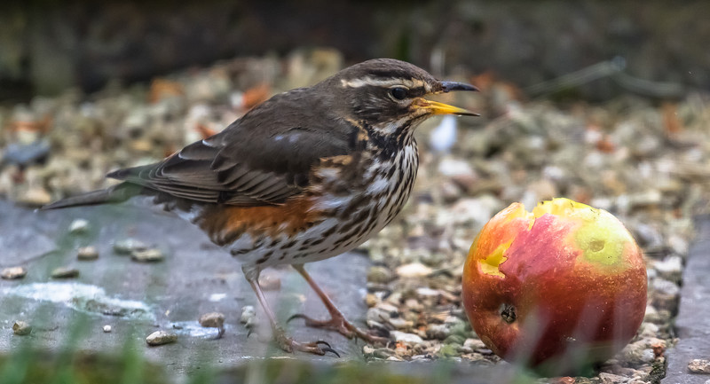 Redwing and Kingfisher