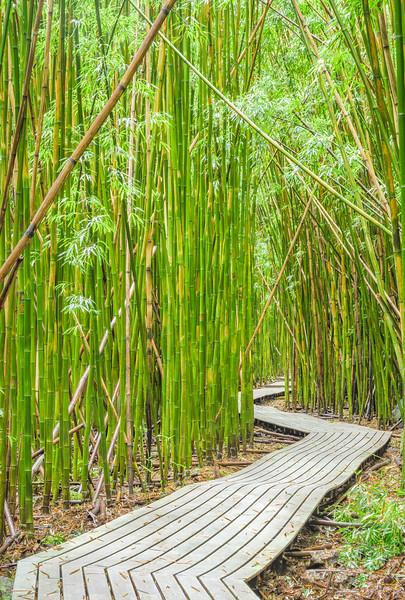 Bamboo Forest, Study 3, Maui, Hawaii