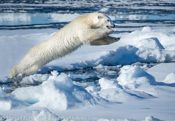 Norway Svalbard Polar Bears