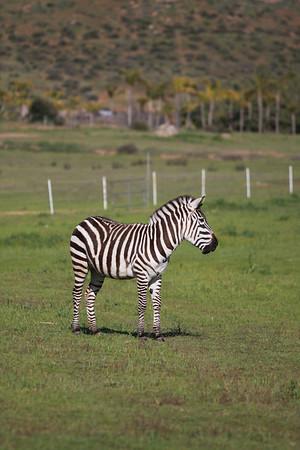 Zebras R US