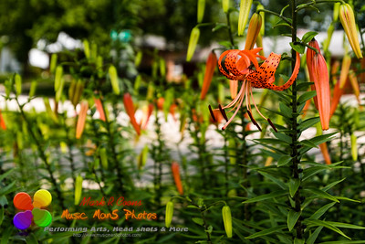 wide angle view of a tiger lily hanging out in the garden