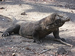 komodo-dragon-chris-mitchell.jpg