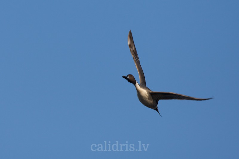 Northen Pintail in flight (male)