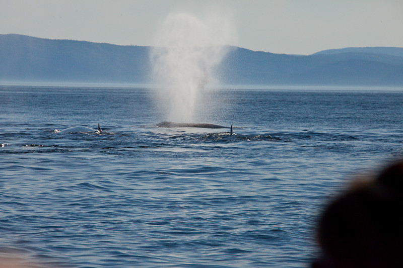 2011 quebec whale watching (40 of 80).jpg