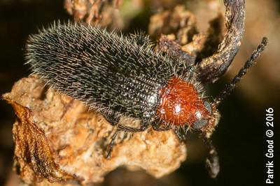Hairy Red-headed Darkling Beetle