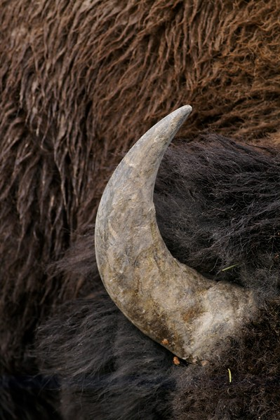 """""""Buffalo"""" are more accurately called American Bison. Their huge back hump contains muscles that are needed to support the massive head [September; Yellowstone National Park, Wyoming]"""