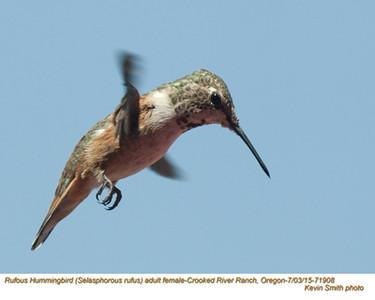 Rufous Hummingbird F71908.jpg