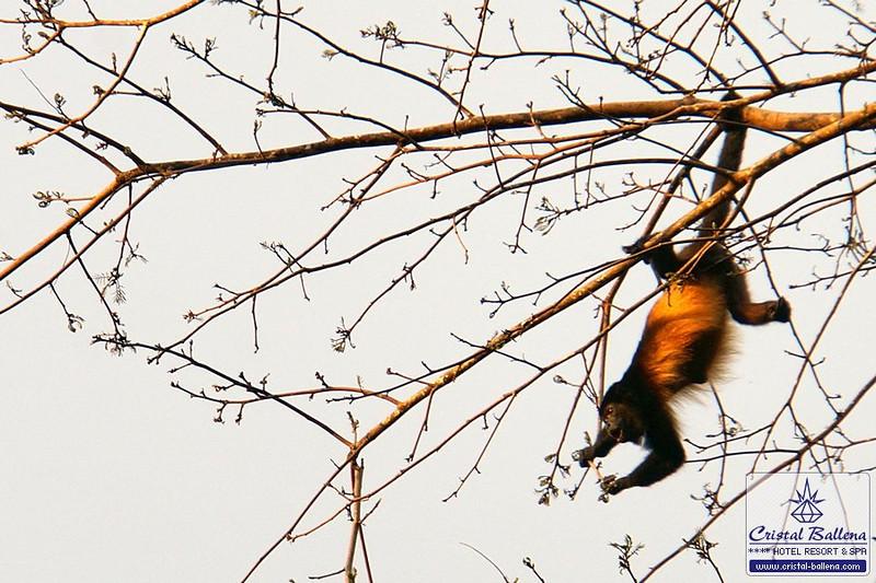 Nature-howler-monkey-DSC03173a_0600px-wm.jpg