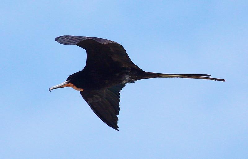 Male Frigate bird soaring