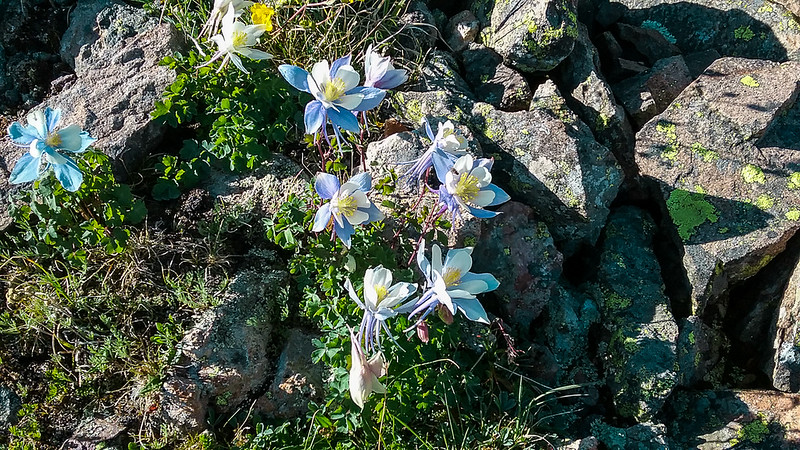 Columbines in the rocks.