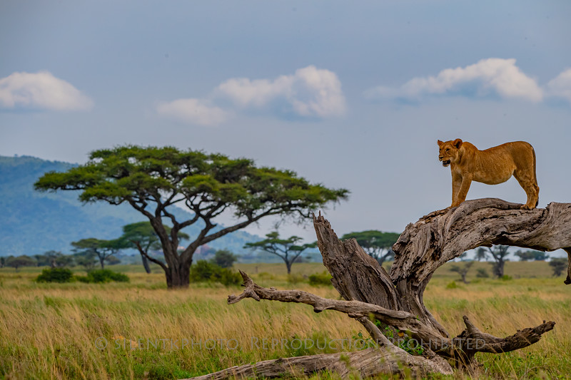 Tree Climbing Lions of the Serengeti