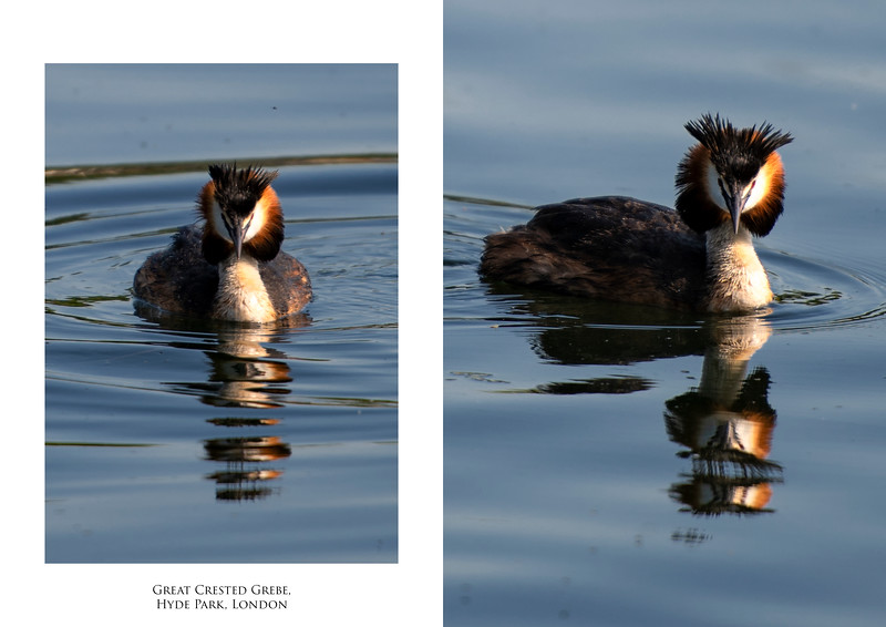 Great Crested Grebe 2.jpg