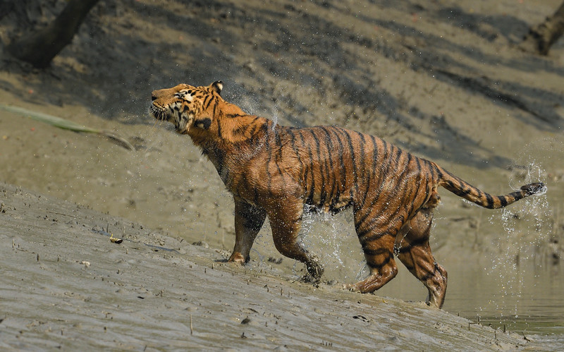 King-of-the-swamps-sundarbans-tiger-1.jpg