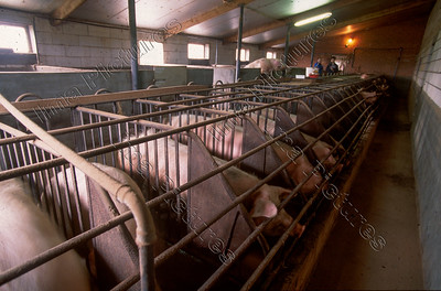 pigfarm varkensboerderij ferme de cochons