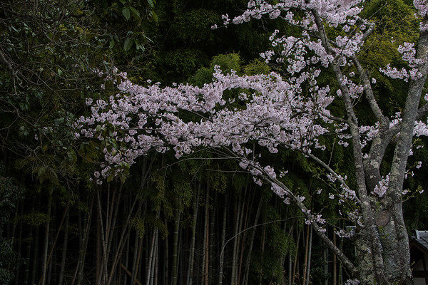 Japan:  Cherry Blossoms, Bamboo and Gardens