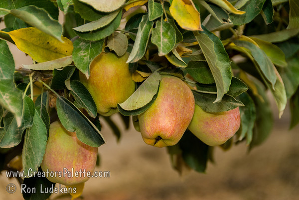 Anna Apple - Malus sp.