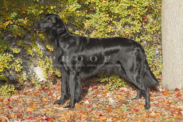 Flat Coat Retriever_PAW