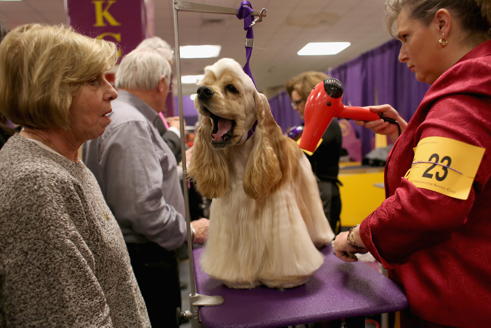 Description of . Stacy Dohmeier (R), blow dries Tucker, an A.S.C.O.B Cocker Spaniel at the 137th Westminster Kennel Club Dog Show on February 12, 2013 in New York City. Best of breed dogs were to compete for Best in Show at Madison Square Garden Tuesday night. A total of 2,721 dogs from 187 breeds and varieties competed in the event, hailed by organizers as the second oldest sporting competition in America, after the Kentucky Derby. (Photo by John Moore/Getty Images)
