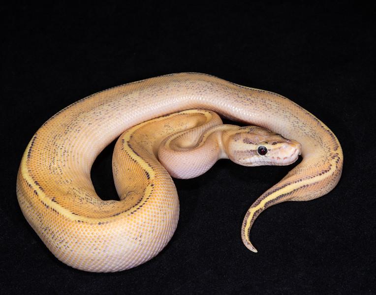 116MPUMA, male Puma, $200