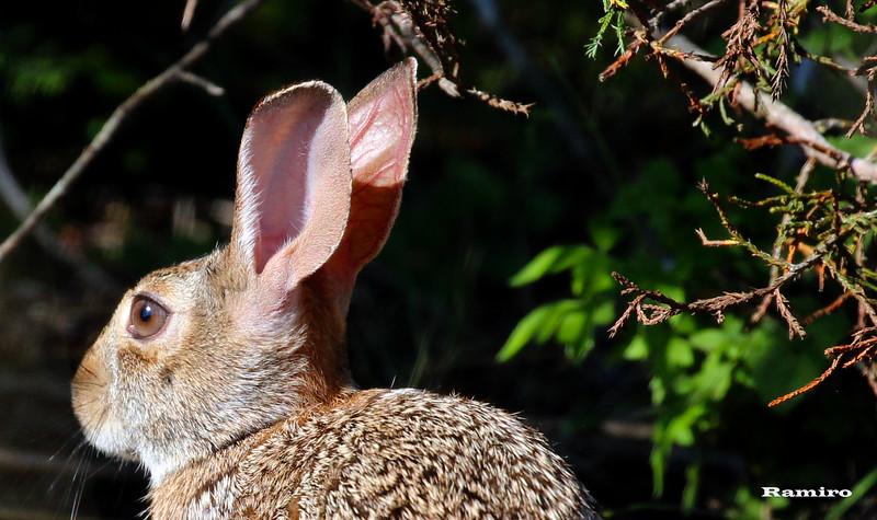 Rabbit 5-29-15 016.jpg