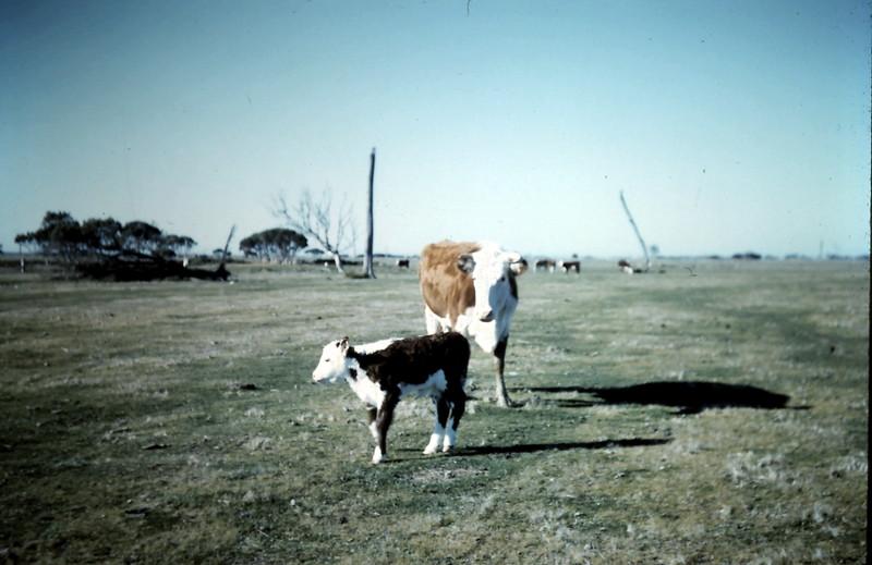 1962-7 (28) Cow & calf.JPG