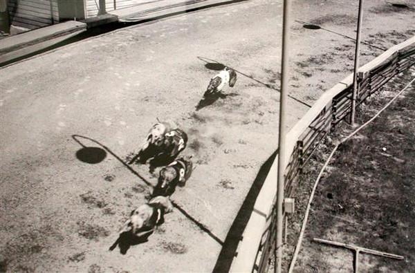 Sports-Racing-Dogs-OP&JaxKennelClub-1937-8591.JPG