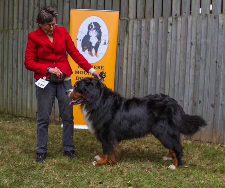 GB Ch 2016 2  2nd Open Dog-8753.jpg