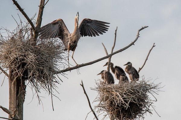 Georgetown Rookery 31-May-2019
