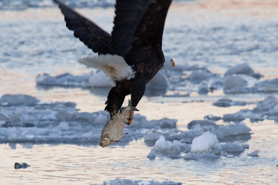 Bald eagles of New York - 2014