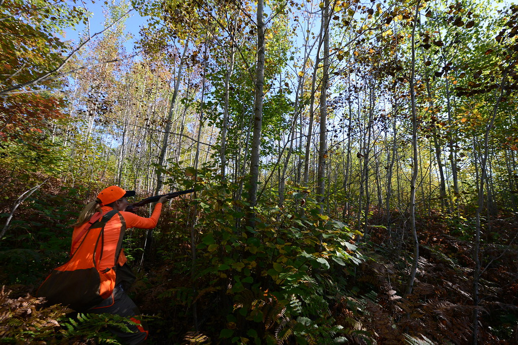 . Meadow Kouffeld-Hansen, regional biologist with the Ruffed Grouse Society, prepares to shoot at a woodcock flushed by Meine, her 4-year-old Deutsche Drahthaar in Itasca County in northern Minnesota Saturday, Sept. 19, 2015, opening day for grouse and woodcock hunting in Minnesota. Because grouse and woodcock prefer thick cover to avoid predators, hunting for them often involves shots in tight quarters. Kouffeld-Hansen shot this bird. (Pioneer Press: Dave Orrick)