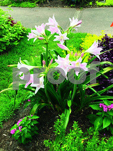 lovely-amarcrinum-is-a-hardy-cross-between-two-plants