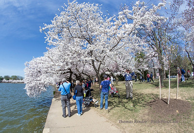 Cherry Blossoms 4/13/15