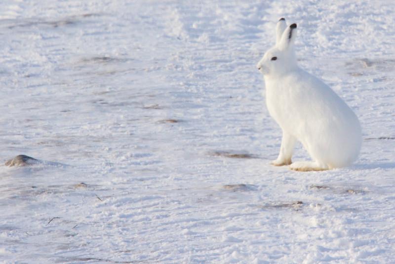 polar bear  5954.jpg