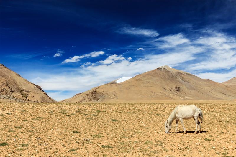 Horse grazing in Himalayas. Ladakh, India