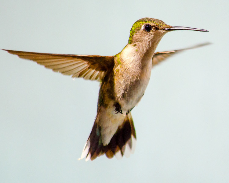 hummingbird june 21 2014 .jpg
